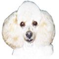 Standart Poodle