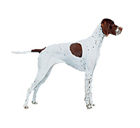 English Pointer L İngiliz Pointer Özellikleri