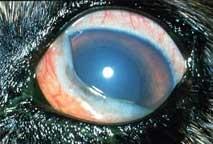 K�pekde Glaucoma