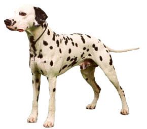 Juen Pet Bilgi Portal - Bilgi Yazlar - Erkek Köpeklerde Üreme